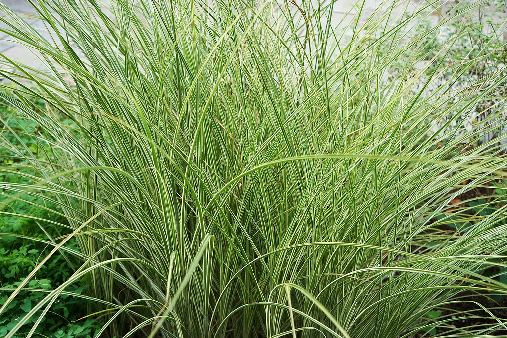 miscanthus sinensis 39 gracillimus 39 maiden grass eulalia. Black Bedroom Furniture Sets. Home Design Ideas