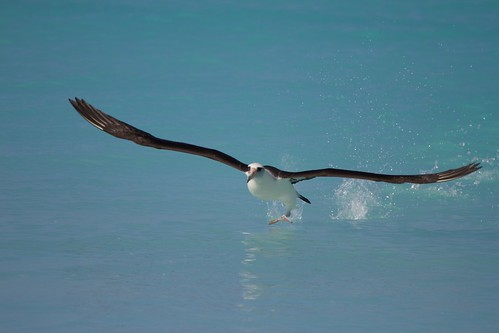 Laysan Albatross | Midway | | 2013-01-03at11-12-30 | by Bettina Arrigoni