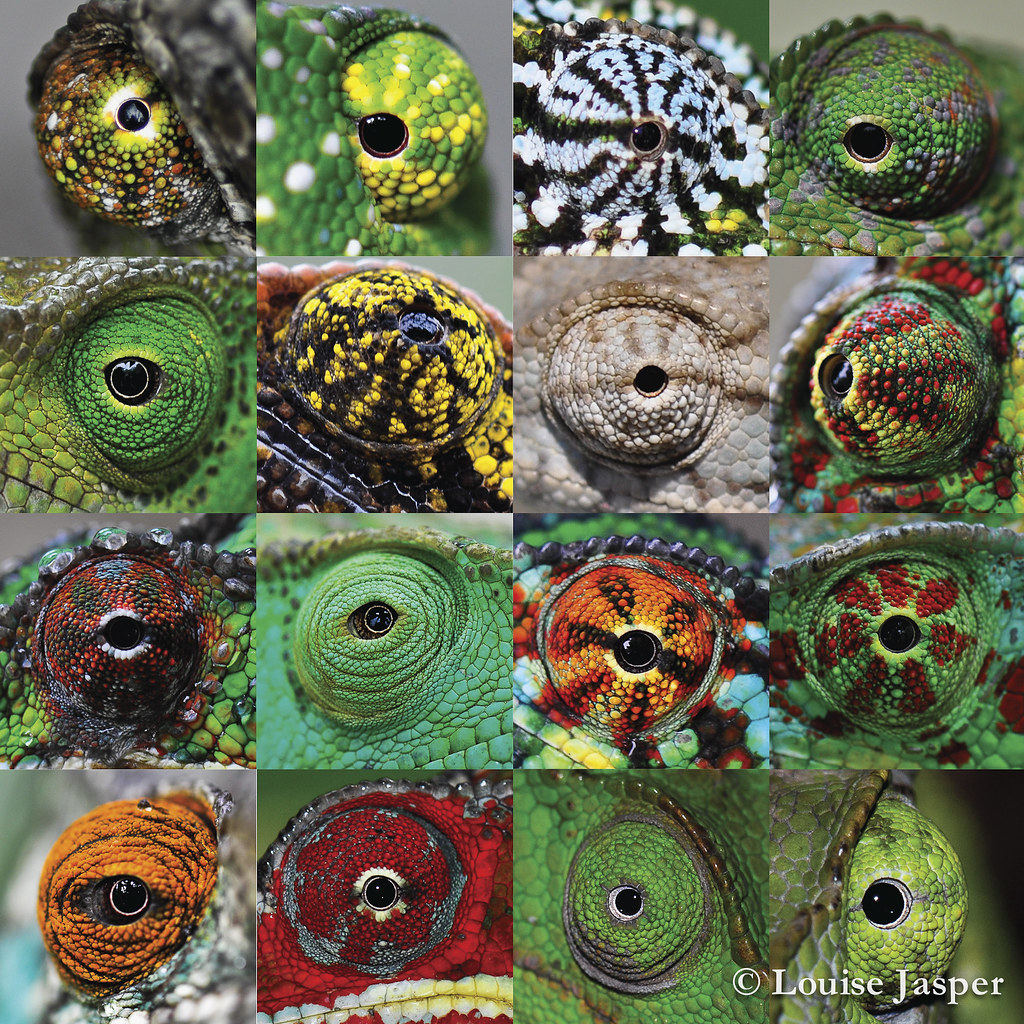 Chameleon eye collage louise jasper flickr for Www gardner com