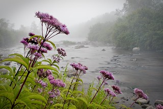 The Winner - Joe-pye Weed | by U. S. Fish and Wildlife Service - Northeast Region