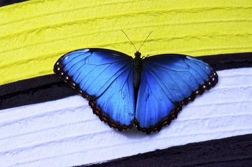 Papillons en libert jardin botanique de montr al 2013 for Jardin botanique montreal papillons 2016
