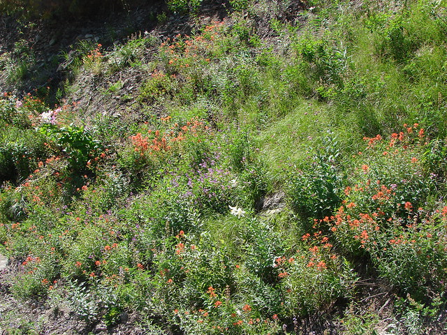 Paintbrush and penstemon