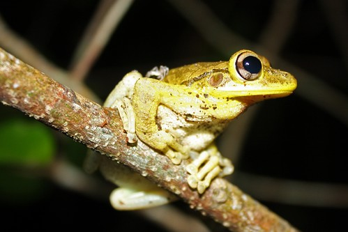Cuban Tree Frog (Osteopilus septentrionalis) | by Thomas H Brown