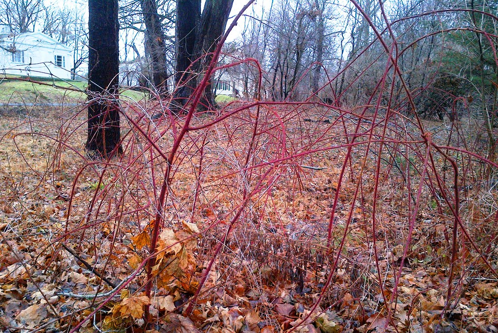 Invasive Wineberry Easy To Spot In Winter The Furry