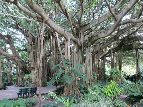 Banyan tree | by A.M. Kuchling