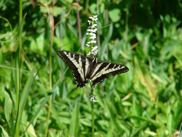 Swallowtail butterfly on a bog orchid