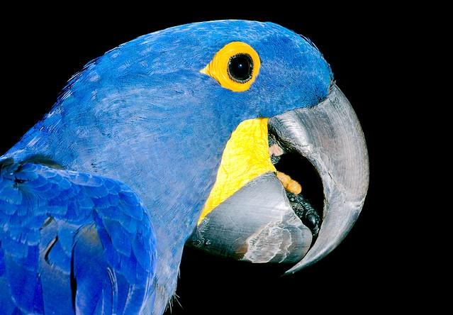 Hyacinth Macaw_3_v2