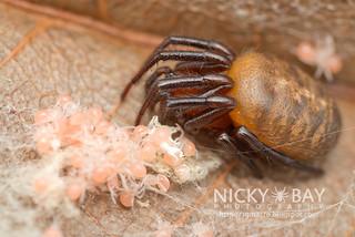 Scarlet Acusilas Spider (Acusilas coccineus) - DSC_6539