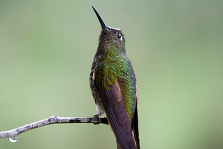 Buff-tailed Coronet | by The Colombian Way