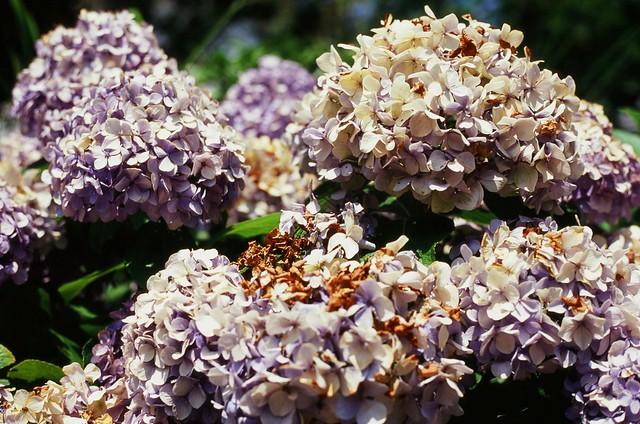 枯れかけの紫陽花 (フジノン対決)