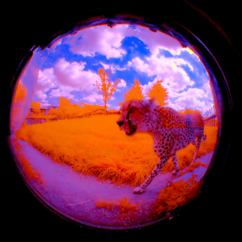 Cheetah_17