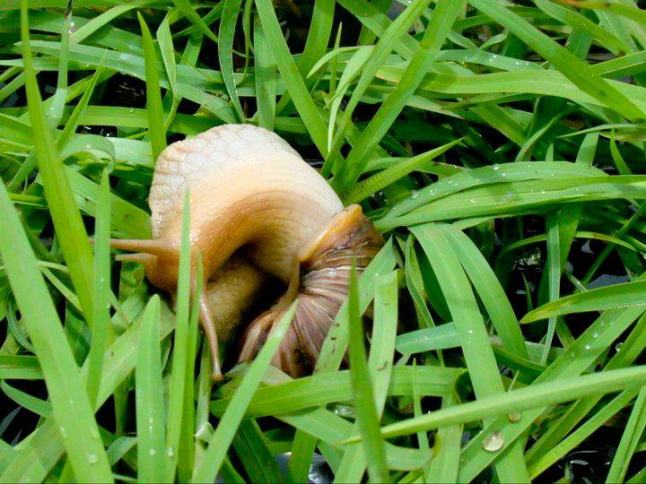 snail | Snail coming out of its shell... | Muthumeena Sudalaimuthu ...