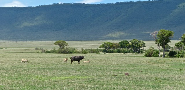 Ngorongoro Crater caldera floor is mainly open grassland home to a diverse range of animals