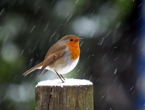 Robin In The Snow Bit Late For Christmas Olympus