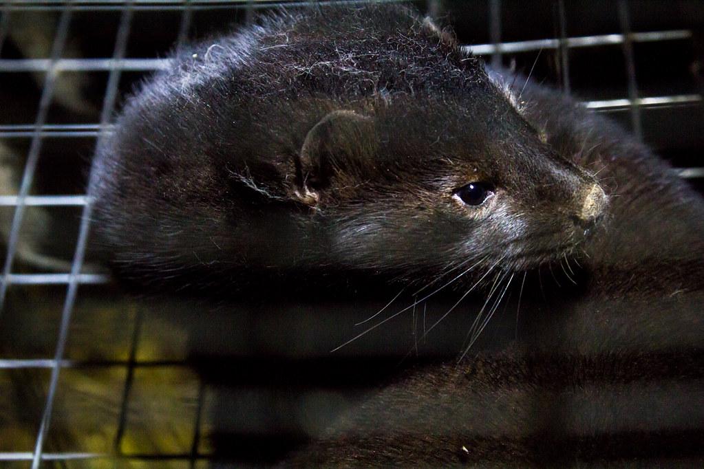 Baltic Devon Mink 06 | Dzīvnieku brīvība | Flickr