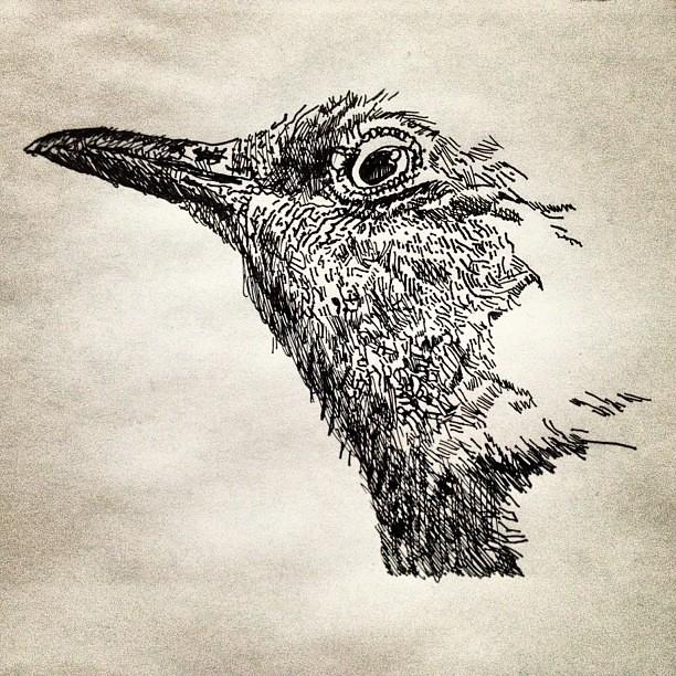 texas state bird drawing in progress mockingbird juli flickr