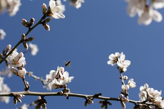 almond in bloom | by molly dunham