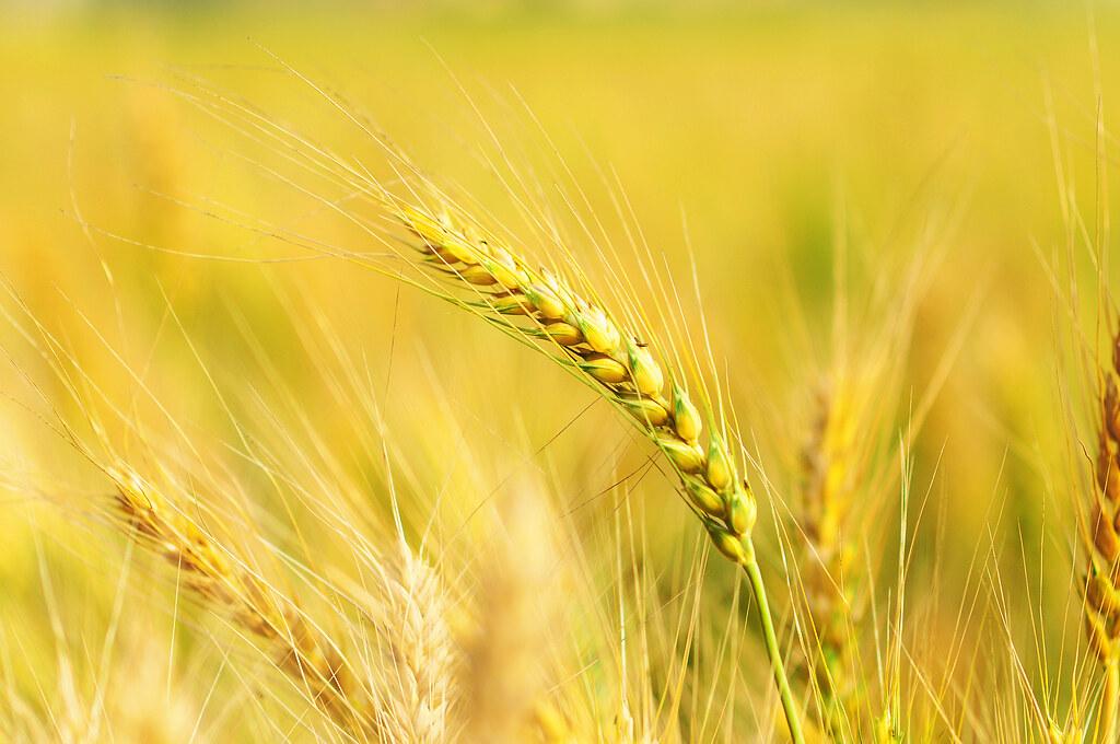 小麥是禾本科,一年生或越年生草本,總產量僅次於玉米和稻米,是世界上第三大的糧食作物。圖片來源:dennis。(CC BY-SA 2.0)。