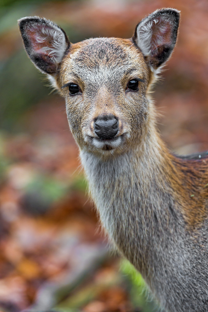 Doe looking at me i like this picture of a doe looking at tambako the jaguar flickr - Doe de toegangsgalerij opnieuw ...