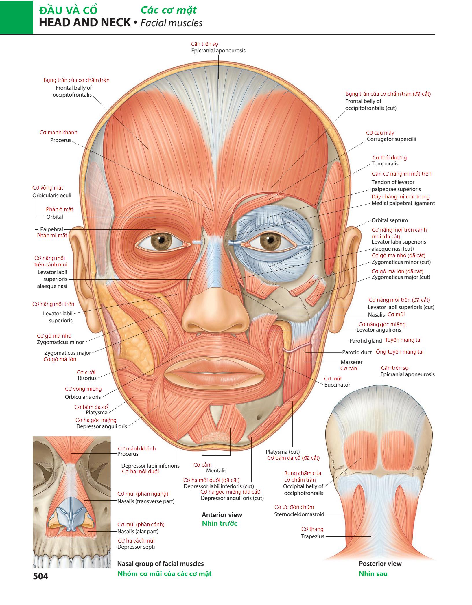 Richard L. Drake, A. Wayne Vogl, Adam W. M. Mitchell, Richard M. Tibbitts & Paul E. Richardson. Gray's Atlas of Anatomy, 2nd Edition. Churchill Livingstone, 2015: 504