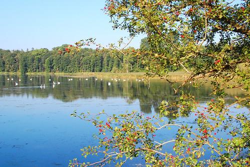 Schloss Gottorf in Schleswig bietet nicht nur jede Menge Kunst und Kultur (2 Landesmuseen, Barockgarten, Gottorfer Globus, Skulpturenpark, Ausstellungen ...), sondern es laden zudem rund ums Schloss attraktive Spazierwege, Wälder, wunderschöne (Schilf-) Landschaften mitsamt den äußersten Ausläufern der Schlei zum Erholen, Schauen und Fotografieren ein. Im Wald entdecke ich riesige Waldschachtelhalme und auf dem Wasser tummeln sich Schwäne in großer Anzahl ... Foto: Brigitte Stolle 2016
