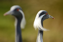 Demoiselle Cranes (Anthropoides virgo)