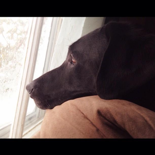 my big homie hendrix watchin it snow labgang dogsarec flickr