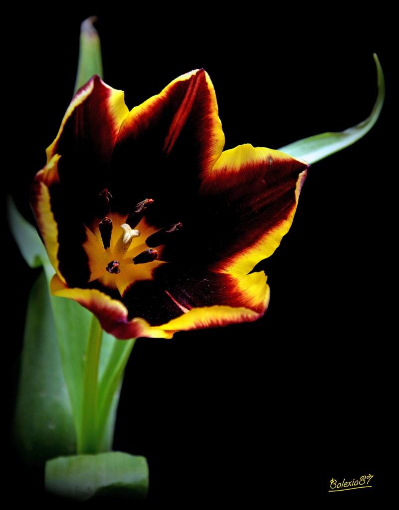 Une Tulipe Extraordinaire Pour Te Souhaiter Un Joyeux Anni Flickr