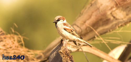 Male House Sparrow | by hes240