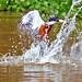 Brazilian Ringed Kingfisher Diving