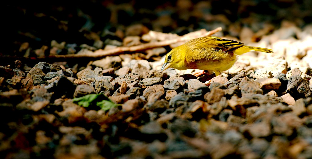 Taveta Golden Weaver_2