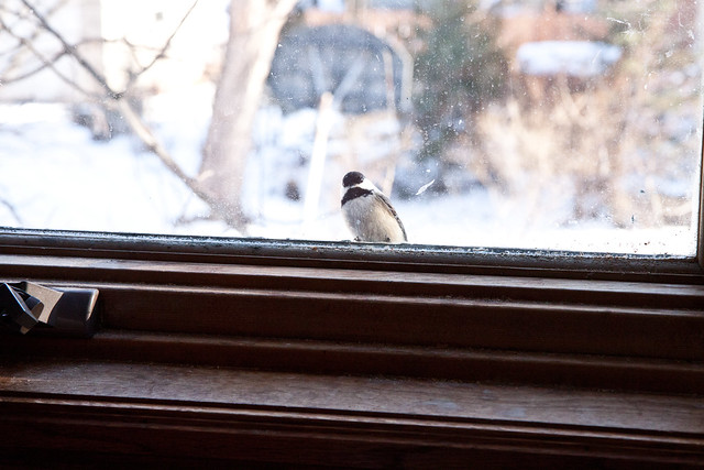 Chickadee peeking in window