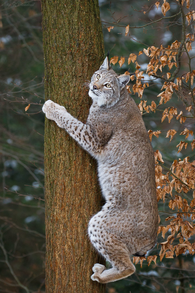 climbing up | A lynx climbing up a tree, to get some prey. | Cloudtail ...
