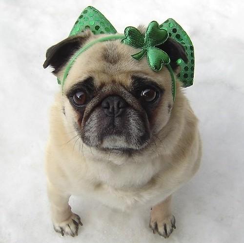 Pug St. Patrick's Day Diva