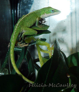 female Green Anole | by Felicia McCaulley