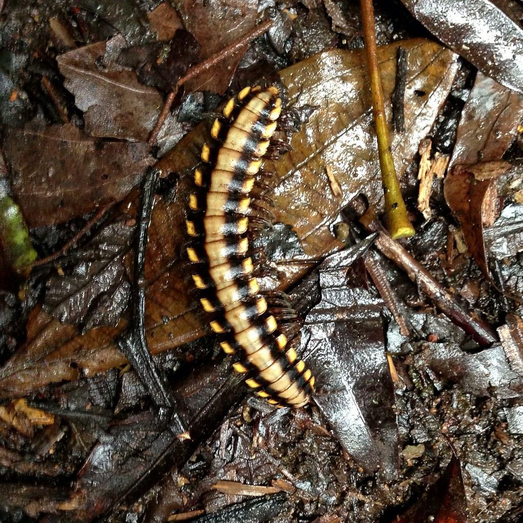 R Centipedes Poisonous Millipede, Monteverde ...