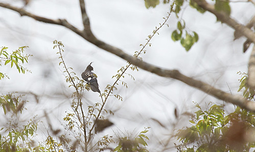 Black Baza | by christopheradler
