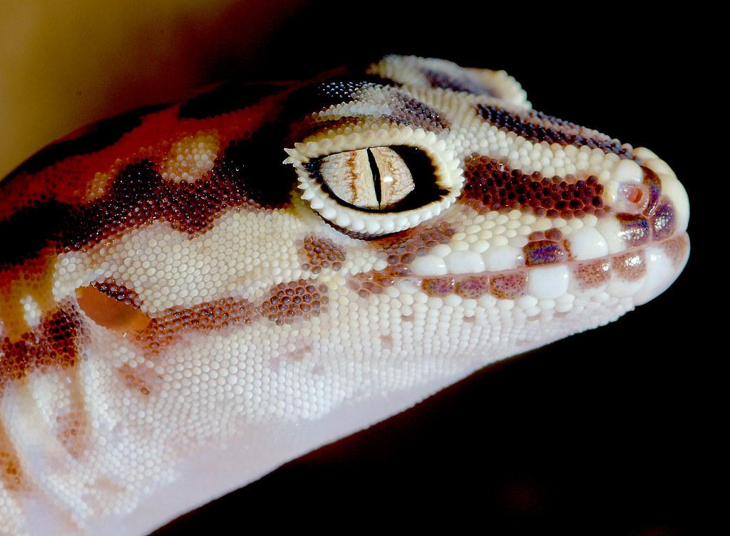 Western Banded Gecko (Coleonyx variegates)_4