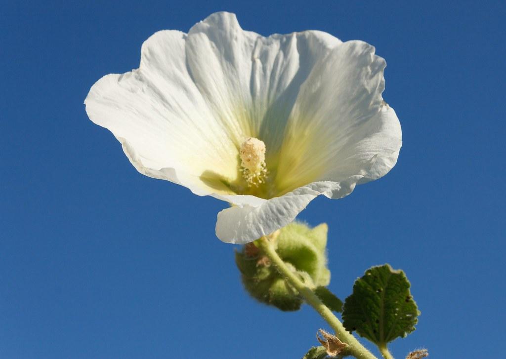 La Rose Tremiere Et Le Ciel Bleu Robinp1951 Flickr