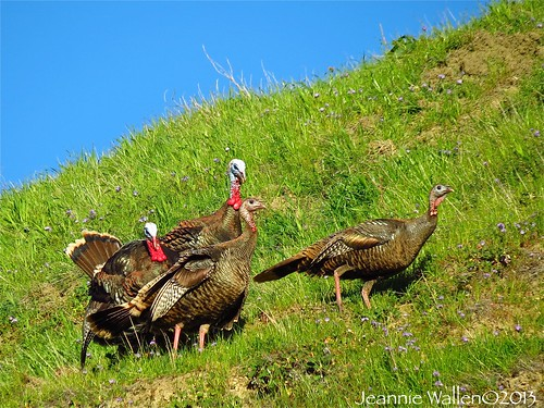 Springtime Wild Turkey Gathering | by Jeannie Wallen Photos