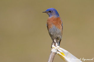 Western Blue Bird - IMG_5544 | by arvind agrawal