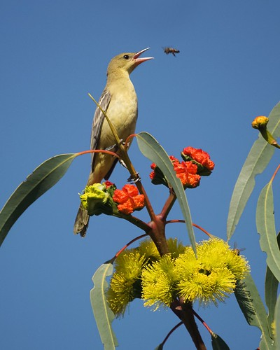 Hooded Oriole catching a bee