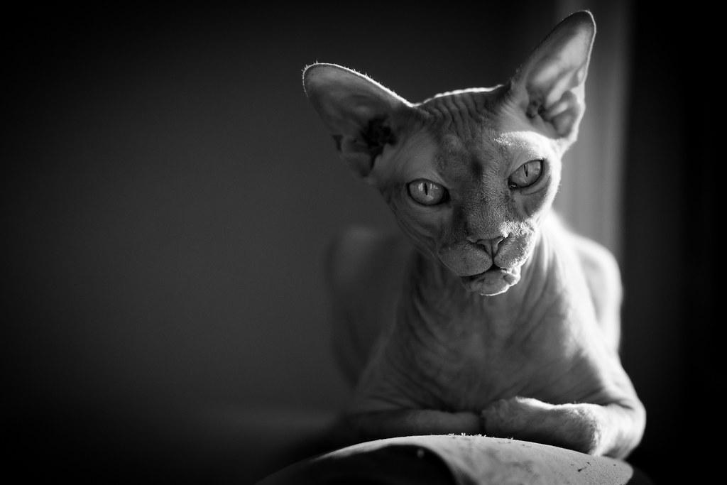 Sphynx Cat Mllgan  Our Sphynx Resting In The Sunlight -8631