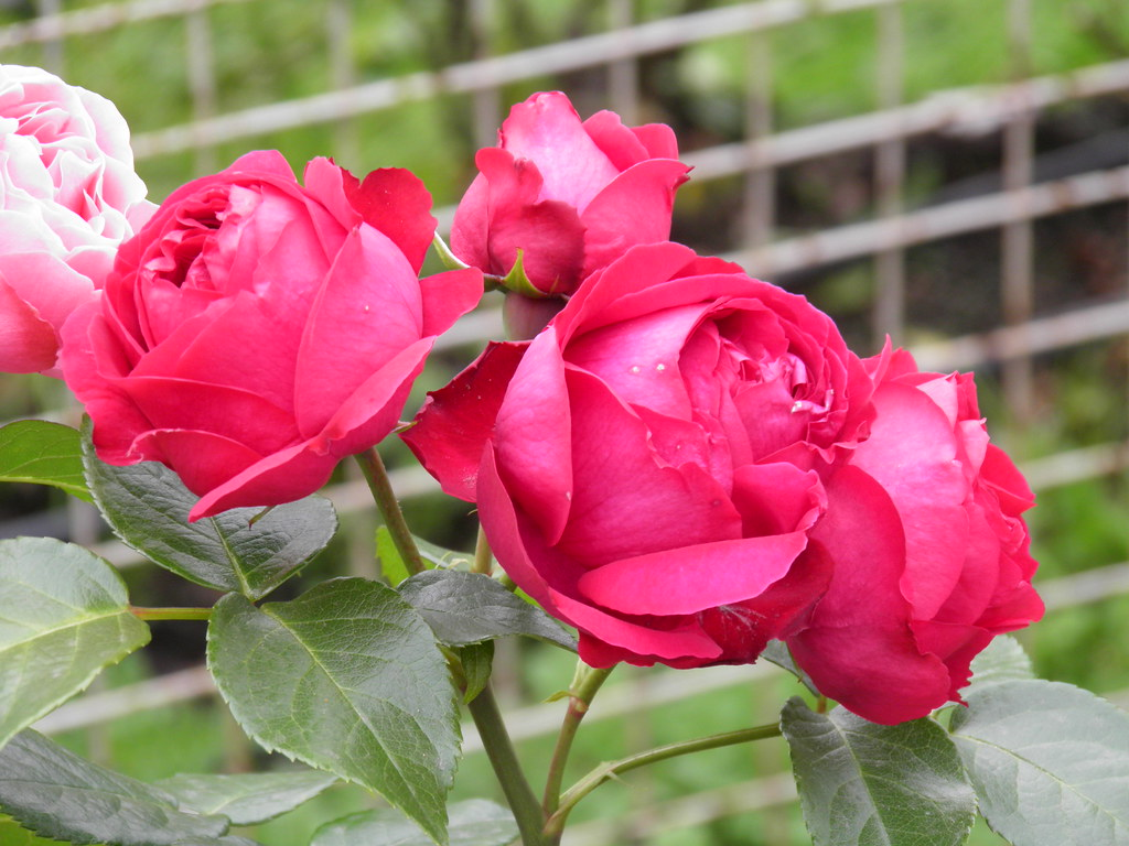rosa red eden rose alexey ivanov flickr. Black Bedroom Furniture Sets. Home Design Ideas