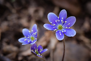 Little Blue Flower of Some Kind | by curtisWarwick
