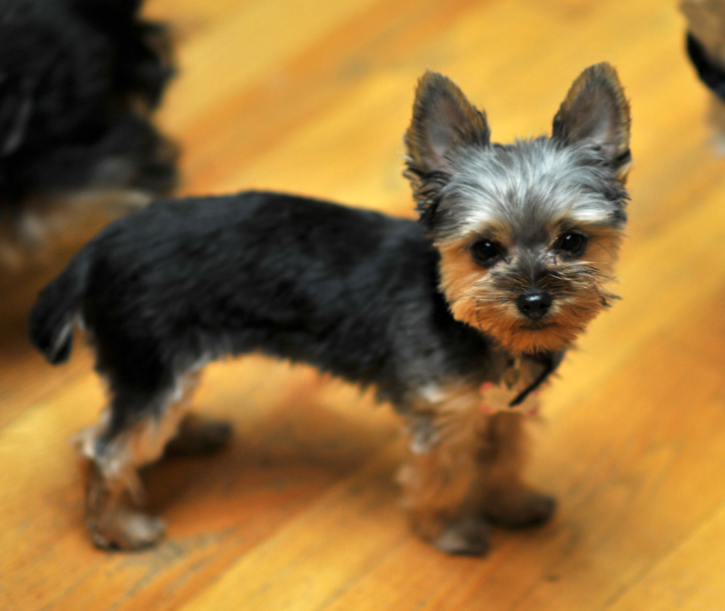 nina cute baby yorkie after first haircut 3 | Ryan Houston | Flickr