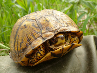 Eastern Box Turtle (Robin Baranowski, NPS Photo) | by Northeast Coastal & Barrier Network