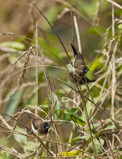 White-rumped Munias | by christopheradler