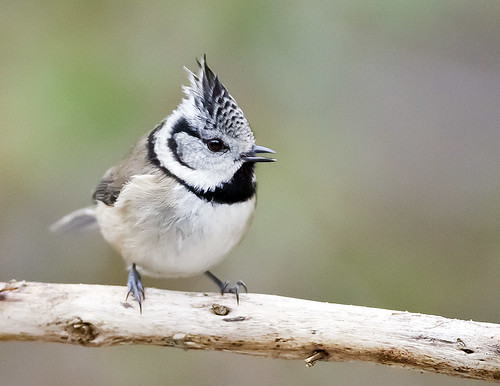 CRESTED TIT 1 | by Nigel Bewley