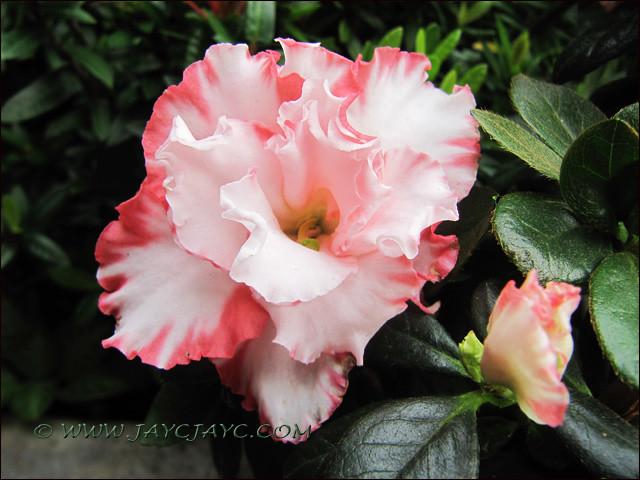 Rhododendron simsii or azalea indica white flowers with f flickr rhododendron simsii or azalea indica white flowers with frilly pink edges a bicolored variety mightylinksfo